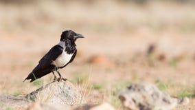 Пестрая ворона (albus corvus) Стоковая Фотография RF