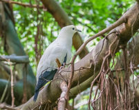 Пестрое имперское - голубь Стоковые Фотографии RF