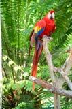 Пестротканая ара Стоковая Фотография RF