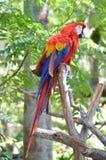 Пестротканая ара Стоковое Фото