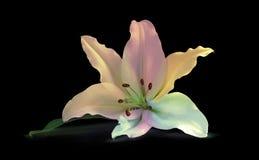 Пестротканая лилия на черноте Стоковые Изображения