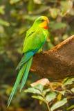 Пестротканая птица budgies Стоковое фото RF