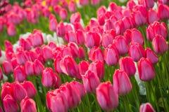 Пестротканое поле тюльпана цветка в Голландии Стоковое Изображение