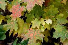 Пестротканые листья осени Стоковое Изображение RF