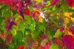 Пестротканые кленовые листы Стоковое Фото