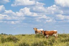 Пестротканые коровы при рожки смотря камеру на зеленом поле Стоковая Фотография RF