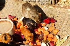 Пестротканые морские свинки Стоковые Изображения