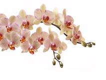 Пестротканые орхидеи Стоковая Фотография