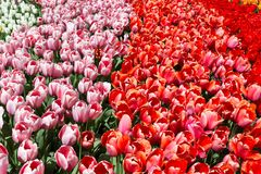 Пестротканые тюльпаны в Keukenhof паркуют, Нидерланды стоковая фотография rf