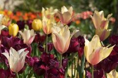 пестротканые тюльпаны солнечного света Стоковая Фотография