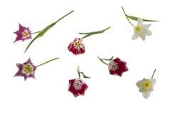 Пестротканые тюльпаны Стоковое фото RF