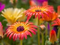 Пестротканые цветки крупного плана Стоковая Фотография