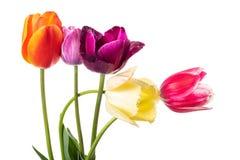 Пестротканые цветки тюльпана изолированные на белизне Стоковые Изображения