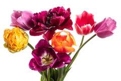 Пестротканые цветки тюльпана изолированные на белизне Стоковая Фотография RF