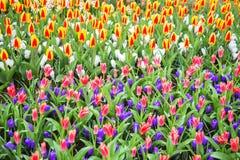 Пестротканые яркие тюльпаны и цветки весны крокуса стоковое фото