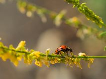 Пестротканый азиатский жук черепашки дамы Стоковая Фотография