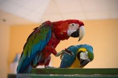Пестротканый попугай 2 на клетке Стоковая Фотография