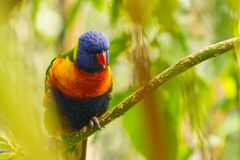 Пестротканый портрет птицы budgies Стоковая Фотография