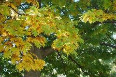 Пестротканый дуб Стоковое фото RF