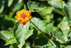 Пестротканый цветок Lantana Стоковое Изображение RF