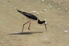 Пестрые, или, который черно-подогнали ходули, чувствительная wading птица стоковые изображения rf