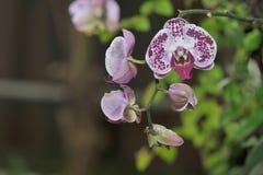 Пестрые орхидеи Стоковые Изображения RF