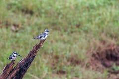Пестрые пары kingfishers Стоковое Изображение RF