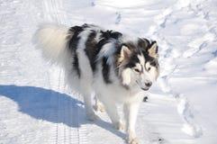Пестрые прогулки собаки Стоковые Изображения RF