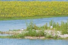 Пестрые Avocets разводя на гнезде Стоковая Фотография RF
