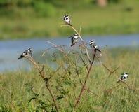 Пестрые Kingfishers отдыхают в дереве в болоте в Уганде Стоковая Фотография