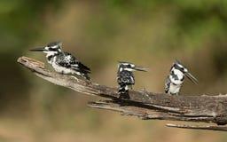 Пестрые Kingfishers, река Chobe, Ботсвана Стоковая Фотография
