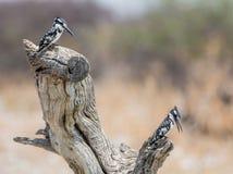 Пестрые Kingfishers Стоковая Фотография RF