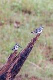 Пестрые Kingfishers Стоковое Изображение