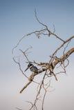 Пестрые rudis Ceryle Kingfisher сидя на дереве, Южной Африке Стоковые Фотографии RF