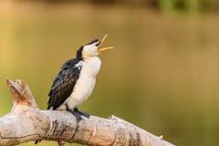 Пестрый баклан с открытым клювом Кажет, что быть говорящ или зевающ Стоковые Фото