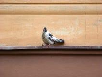 Пестрый голубь сидя на уступе Стоковые Изображения RF
