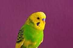Пестрый желт-зеленый крупный план попугая budgerig Стоковое Фото