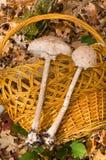 пестрый зонтик гриба Стоковое фото RF
