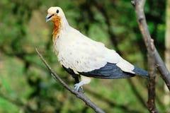 Пестрый имперский голубь в закрытом-вверх фото с предпосылкой нерезкости Стоковые Изображения