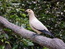 Пестрый имперский голубь, птица Стоковая Фотография RF
