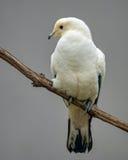 Пестрый имперский голубь Стоковые Изображения RF