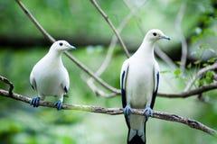 Пестрый имперский окунь голубя на хворостине в парке Стоковые Фотографии RF