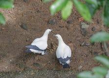 Пестрый Имперск-голубь Стоковые Изображения
