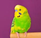 Пестрый крупный план попугая budgerig садился на насест на стойке Стоковая Фотография