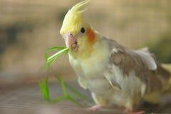 Пестрый попугай Cockatiel Стоковая Фотография RF