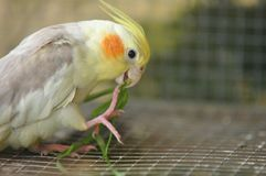 Пестрый попугай Cockatiel Стоковое Изображение RF