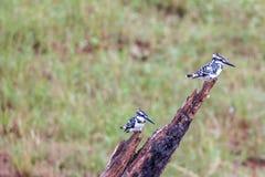 Пестрый садиться на насест kingfishers Стоковая Фотография