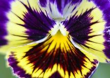 Пестрый цветок бабочки Виолы Стоковая Фотография