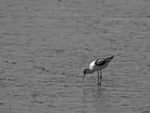 Пестрый avocet, avosetta Recurvirostra, в mudflats стоковые фотографии rf