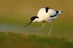 Пестрый Avocet, avosetta Recurvirostra, черно-белое в зеленой траве, Франции Стоковые Изображения RF